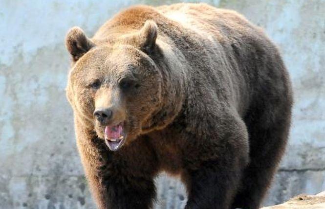 Ce s-a întâmplat cu ursul care a ieșit la plimbare pe străzile din Ploiești