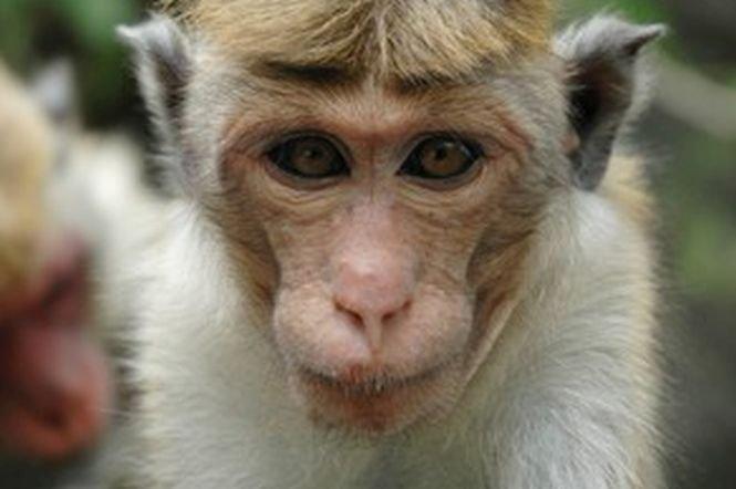 Operație de transplant de cap la o maimuță. Ce s-a întamplat cu animalul după intervenție. Un medic italian vrea să repete procedura la oameni