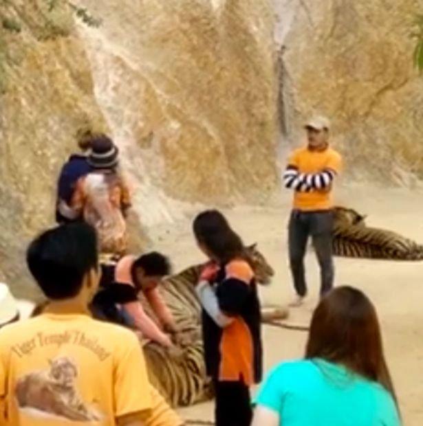 Un îngrijitor, filmat când loveşte un tigru cu pumnul în faţă, într-un templu turistic