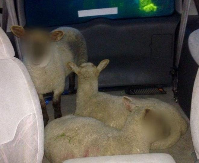 Poza care a produs confuzie pe internet. De ce au fost blurate fețele oilor și care este legătura a trei români cu acest caz