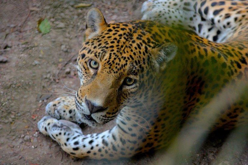 Scandal la JO 2016 de la Rio. Un jaguar a fost ucis