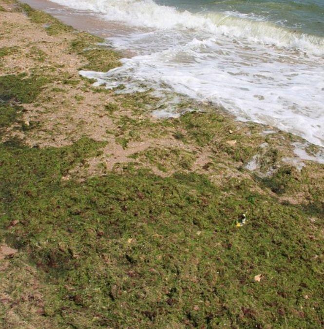 Peisaj dezolant pe plajele din sudul litoralului românesc. Mii de tone de alge au fost adunate