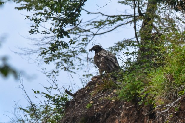 A bearded vulture is spotted in Romania for the first time in 83 years 114