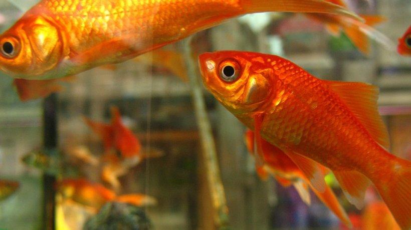 Par atât de inofensivi, dar sunt extrem de periculoși. Peștișorii aurii pot atinge dimensiuni nebănuite și sunt dăunători