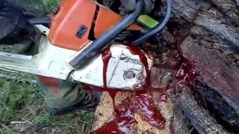 Au tăiat cu drujba un copac și a început să curgă sânge. Ce se afla in interiorul trunchiului
