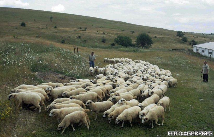 Un cioban încerca să traverseze calea ferată cu turma de oi. A văzut trenul venind, dar era prea târziu. Călătorii nu-și pot reveni din șoc