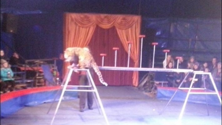 O spectatoare a fost sfâşiată de un leopard, la circ. Cum s-a produs atacul