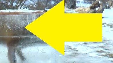 O vulpe înecată în Dunăre a fost descoperită într-un bloc de gheaţă - FOTO