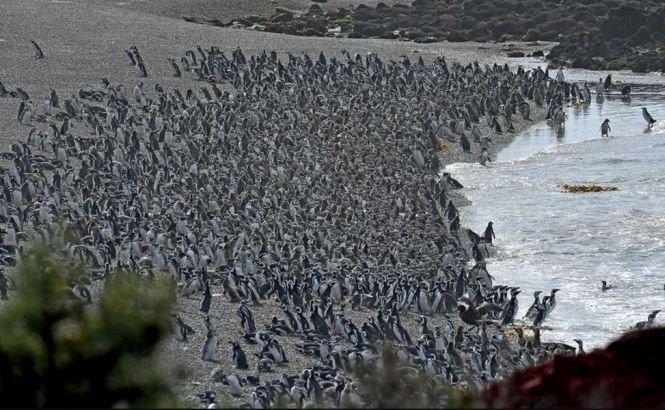 Ați văzut vreodată un milion de pinguini la un loc? Record mondial stabilit în Argentina - VIDEO