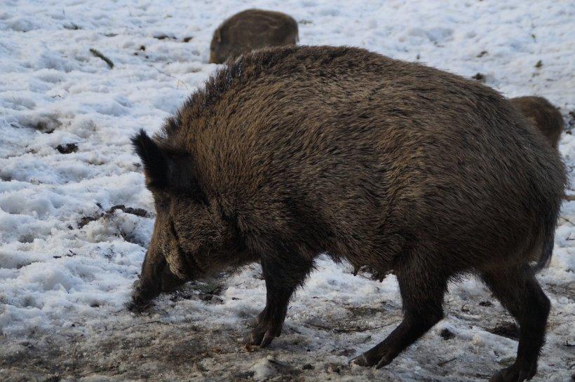 Criză inedită în domeniul alimentar. Porcii mistreți din Cehia au mâncat o specie de ciuperci radioactive