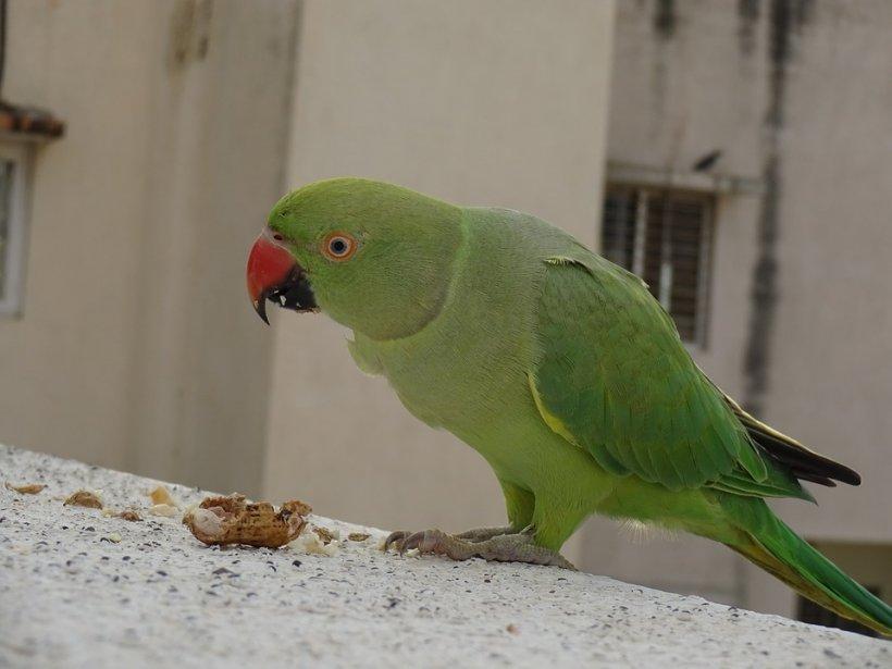 Cei șase papagali colorați care s-au așezat în Parcul Tineretului au trecut cu bine iarna