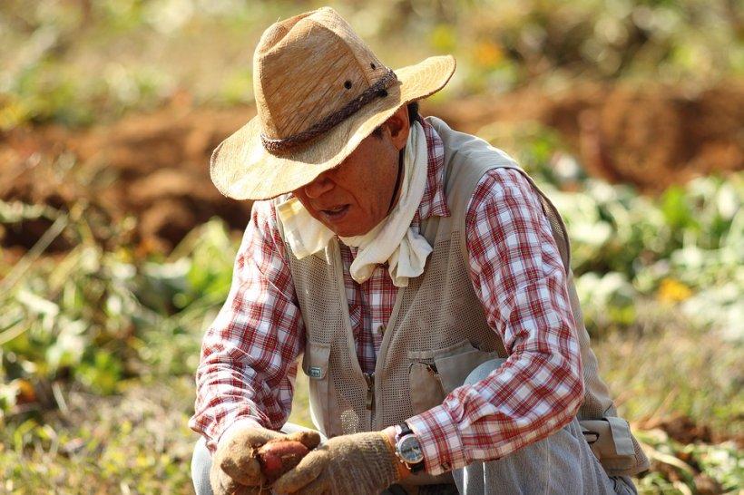 Vești bune pentru agricultori. APIA începe plata subvenţiilor pentru in, cânepă, tutun, hamei şi sfeclă de zahăr, pe 2016