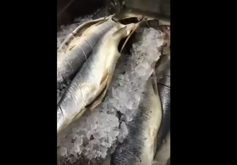 Bombă alimentară pe litoral! 50 de kilograme de pește stricat găsit la o cherhana din Vama Veche (VIDEO)