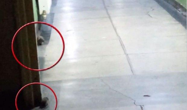 Invazie de șobolani la Spitalului de Boli Infecţioase Victor Babeş din București