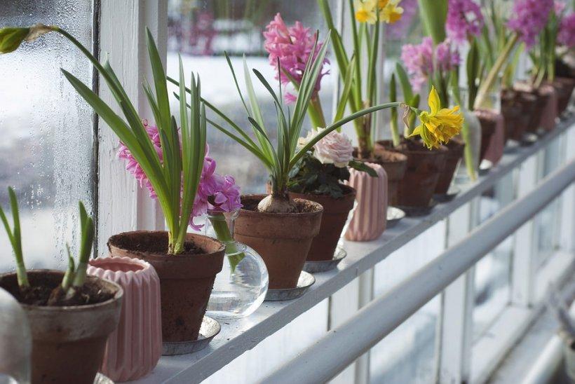 Ce se întâmplă dacă uzi florile cu suc acidulat. Rezultatul te va uimi