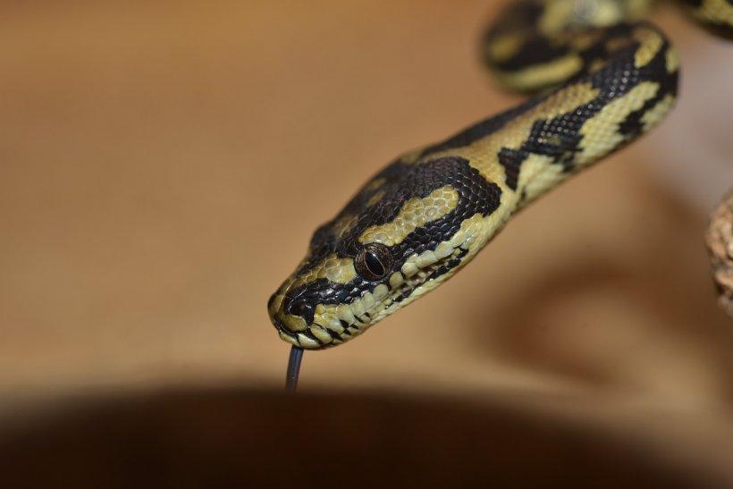 Mai mulţi şerpi veninoşi au fost descoperiţi în colete poştale,în Australia