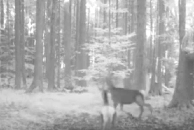 Imagini inedite surprinse de camerele de supraveghere ale Parcului Natural Apuseni - VIDEO
