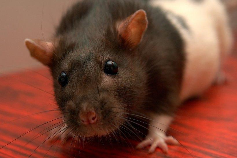Era la cumpărături cu fiica ei când a văzut un șobolan plimbându-se printre rafturi. Rozătorul era atât de mare încât copila l-a comparat cu un iepure - VIDEO