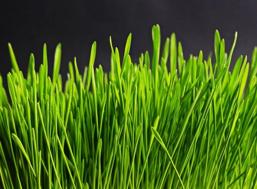 Cum se pune corect grâul la încolţit pentru Sfântul Andrei? Există o greşeală pe care o face toată lumea