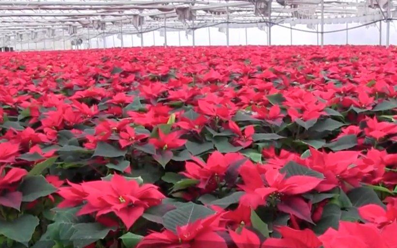 Crăciunițele, la mare căutare - Căt costă o plantă! Conform tradiției, nu trebuie să vă lipsească din casă