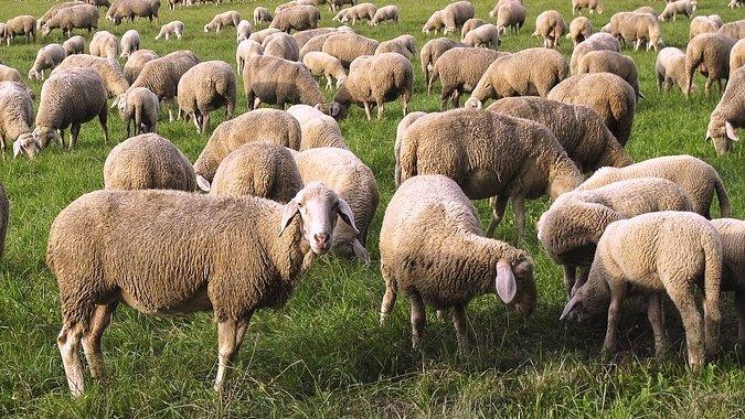 Aproape 100 de oi ucise, după ce au fost lovite de un tren