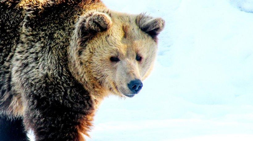 Momente de groază pentru mai mulți turiști din Poiana Brașov.Un urs și-a făcut apariția pe pârtia de schi