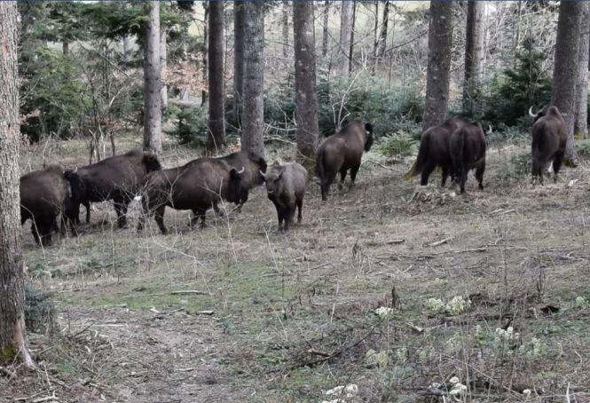 Imagini superbe cu o turmă de zimbri într-un parc natural din România - VIDEO