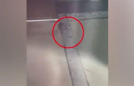 Scene șocante la o covrigărie din Vaslui. Șoarecii se plimbau nestingheriți printre produse