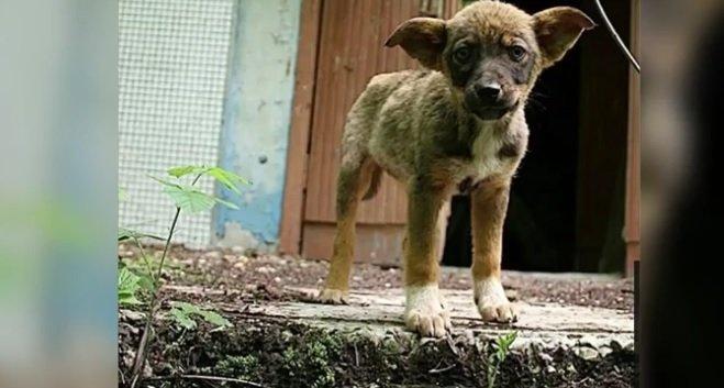 Cum arată câinii radioactivi de la Cernobîl, la 32 de ani de la dezastrul nuclear VIDEO