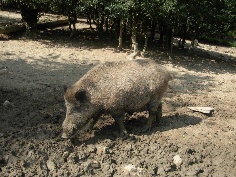 Alertă sanitară în România. Virusul pestei porcine africane, detectat la un porc mistreţ