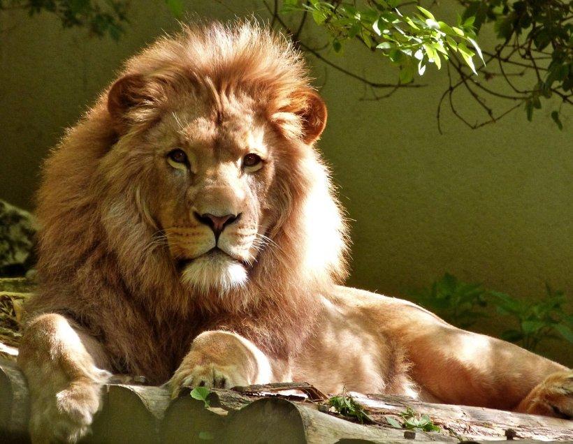 A intrat în cușca leului pentru a face o poză cu el. Ce i s-a întâmplat ulterior femeii e de necrezut