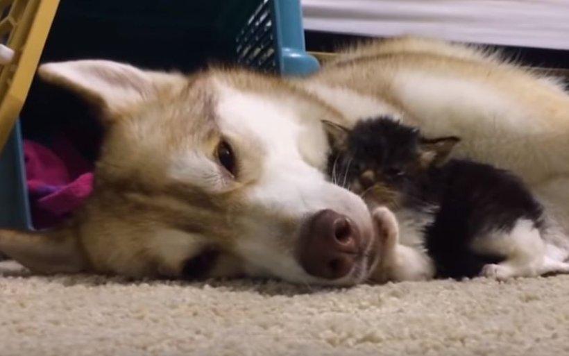 Un pui de pisică, adoptat de o cățelușă. Aceasta își pierduse toți puii la naștere