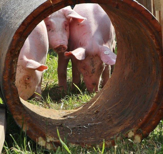 Focarele de pestă porcină africană se extind pe malul Dunării