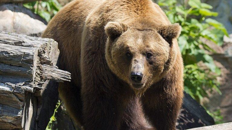 Încă un urs a fost accidentat mortal pe Autostrada Sibiu – Orăştie. Este al doilea caz în mai puţin de 48 de ore