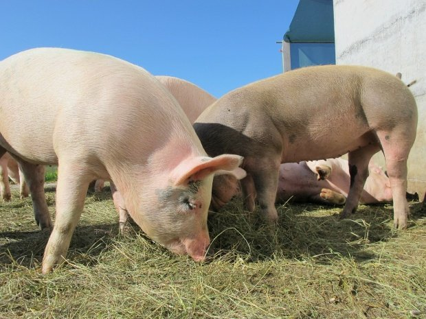 Sute de localități afectate de pestă porcină!Anunțul autorităților