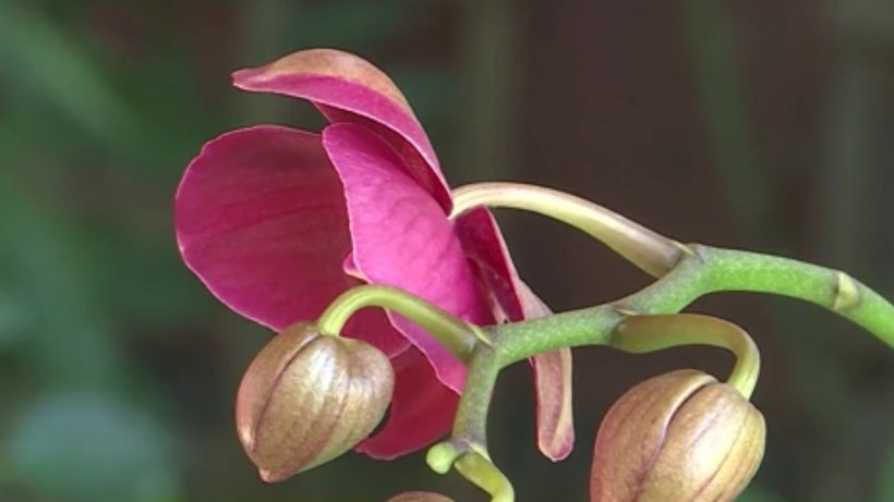 Numai de bine. Orhideea, cea mai iubită floare de apartament. Cum se îngrijeşte corect - VIDEO