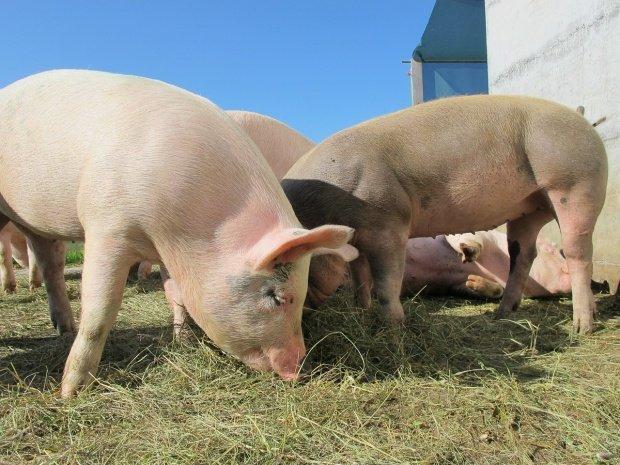 Motivul pentru care trebuie omorâțitoți porcii în cazul pestei porcine