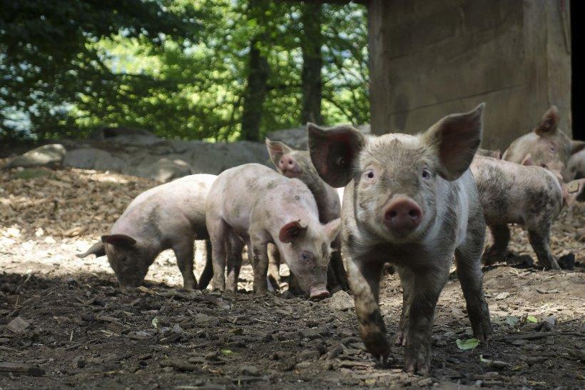 """Avertisment șocant: """"E posibil să nu mai creștem porci în următorii 20 de ani!"""""""