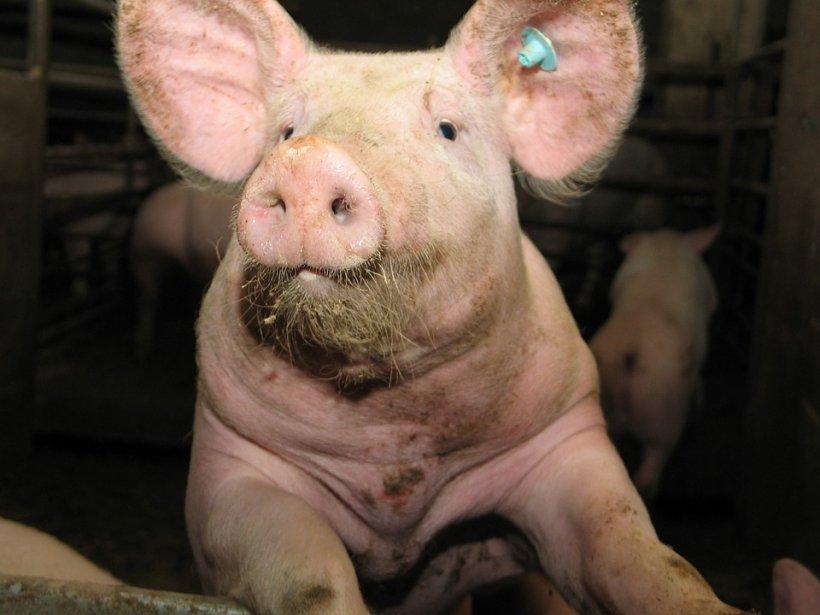 Explicații despre pesta porcină africană de la Ministerul Agriculturii: Mulți sunt dezinformați