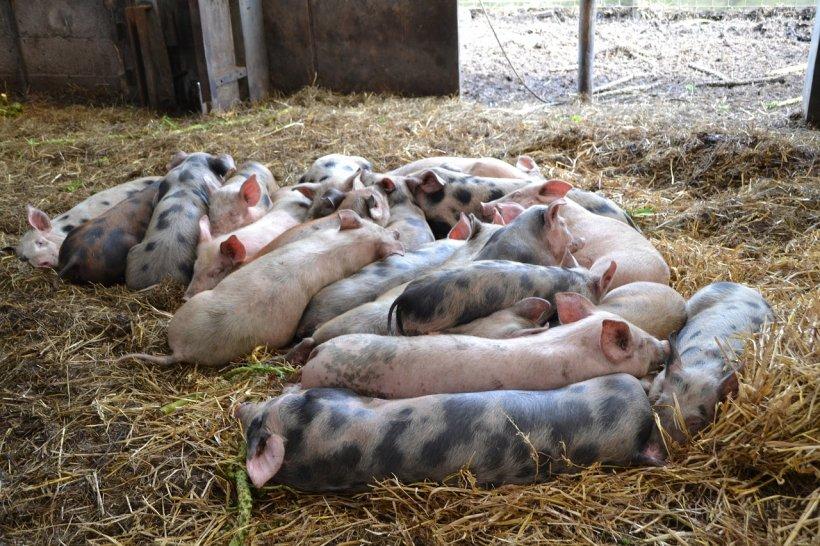 Scandalul pestei porcine ia amploare. Carnea de porc ar putea deveni un lux de Crăciun