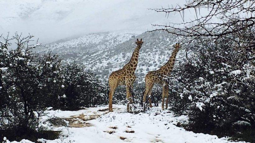 Vreme extremă în lume!În Africa a nins abundent. Imagini spectaculoase cu animale sălbatice acoperite de ninsoare - VIDEO