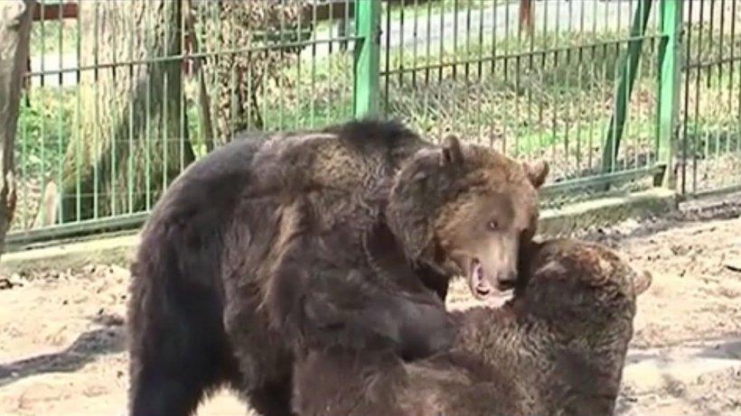 Caz halucinant la Grădina Zoologică. Doi adolescenţi au vrut să facă selfie cu ursul