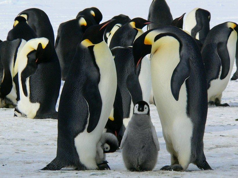 Doi pinguini de același sex au incubat un ou împreună