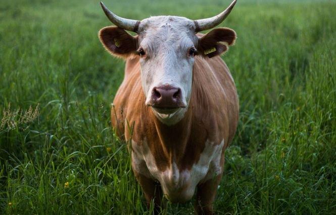 Pericol de boala vacii nebune? Ce spun autorităţile
