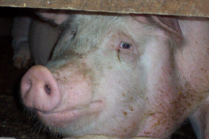 Bani de la UE pentru pesta porcină