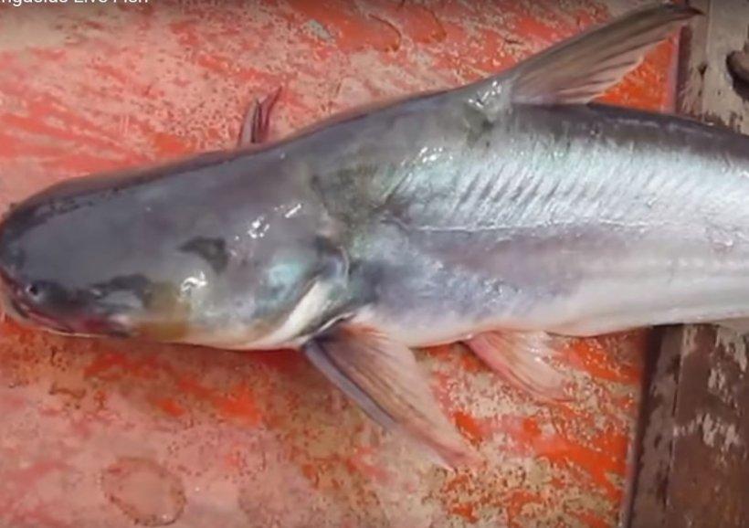 Acest tip de pește este foarte nociv pentru sănătatea ta. Ai mare grijă!