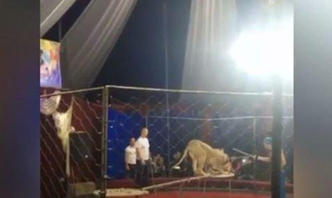 Scene de groază în Rusia! O fetiță a fost atacată de o leoaică la circ