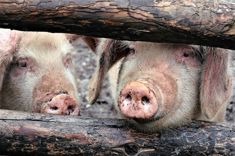 Zeci de cadavre de porci au fost găsite la marginea unei localități din România