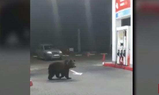 Urși surprinși într-o benzinărie din Sinaia