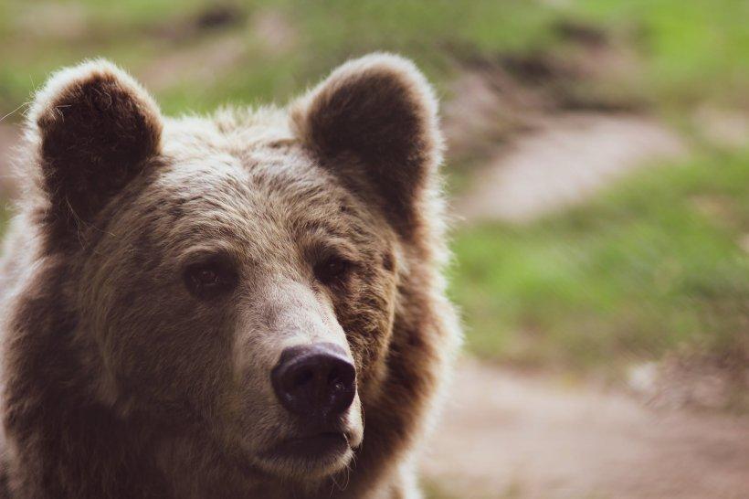 Coșmar de Crăciun în Rusia! Un urs i-a smuls mâna unei femei care a încercat să-l hrănească